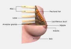 被标记的乳房解剖学 免版税库存照片