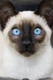 Сиамские голубые глазы котенка Стоковое фото RF