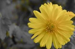 黄色花幸福 免版税库存照片