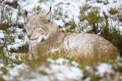 在石南花和雪的天猫座休息 免版税库存照片