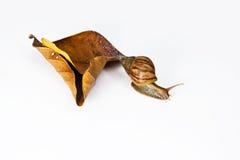 与干燥叶子的蜗牛 免版税库存照片