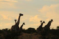 长颈鹿-非洲野生生物背景-谈话与阴影 免版税库存图片