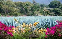 蓝色龙舌兰植物 免版税库存照片