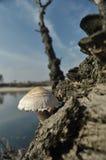 在森林采蘑菇的蘑菇 秋天 可食和毒蘑菇 子实体 免版税图库摄影