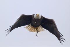 与鱼的白头鹰飞行 免版税图库摄影