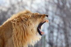 狮子吼声 免版税图库摄影