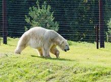 北极熊走 免版税库存图片