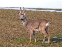 狍属鹿欧洲獐鹿 库存图片