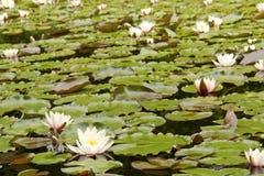 在湖的浪端的白色泡沫百合 免版税库存照片