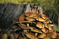 在森林采蘑菇的蘑菇 秋天 可食和毒蘑菇 库存图片