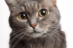 Γκρίζα γάτα κινηματογραφήσεων σε πρώτο πλάνο με τα μεγάλα στρογγυλά μάτια Στοκ Φωτογραφίες