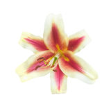 Цветки лилии на белизне Стоковое Фото