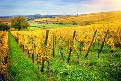 与秋天葡萄园的风景 法国,阿尔萨斯 免版税图库摄影