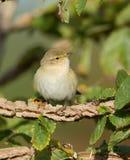 Певчая птица вербы Стоковая Фотография