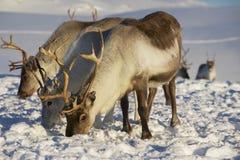 驯鹿在自然环境,特罗姆瑟地区,北挪威里 库存图片