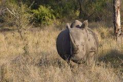 充电的白犀牛在南非 库存照片