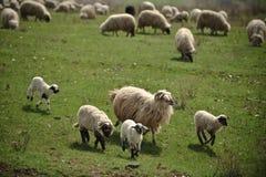 吃草绵羊的接近的域 免版税库存照片
