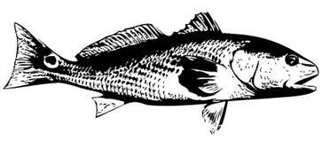红大马哈鱼(美国红鱼)钓鱼-传染媒介 库存照片