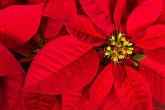 红色一品红或圣诞节星花 免版税库存图片
