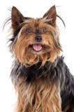 σκυλί μικρό Στοκ εικόνες με δικαίωμα ελεύθερης χρήσης