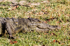 尼罗鳄鱼的画象 免版税图库摄影
