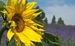 与淡紫色领域的美丽的向日葵在距离风景 库存照片
