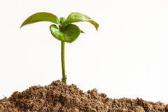 有黑地球的幼木植物 免版税库存图片