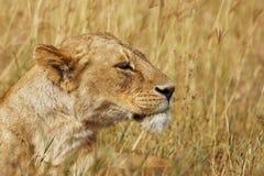 雌狮画象 库存照片