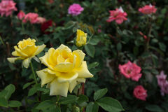 黄色玫瑰花在庭院里 免版税库存图片