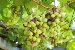 Виноградины свежих фруктов с зеленым цветом выходят на лозу Стоковые Изображения RF