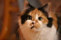 三色猫_三色猫特写镜头 免版税库存照片