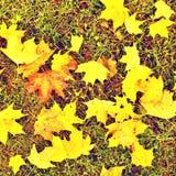 橄榄球季节的结尾 在自然绿色橄榄球草皮地面下落的干燥槭树叶子与被绘的空白线路的 免版税图库摄影