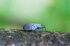 насекомое цикады Стоковое фото RF