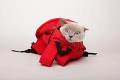 在一个红色袋子的米黄猫,在白色背景 免版税图库摄影