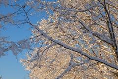 冰和积雪的光秃的树枝在清早太阳期间 免版税库存照片