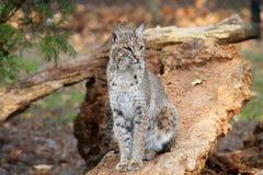 美洲野猫或海湾天猫座 免版税图库摄影