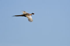 在蓝天的圆环收缩的野鸡飞行 图库摄影