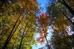 参天的秋天树 免版税图库摄影