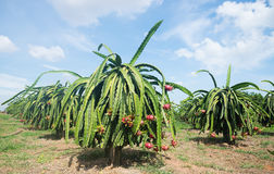 Плантация плодоовощ дракона в Вьетнаме Стоковые Фото