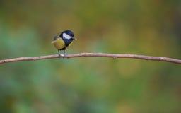 在分支栖息的煤炭山雀 免版税图库摄影