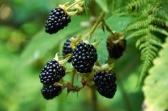 不文雅的黑莓 图库摄影