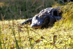 美国短吻鳄在沼泽地在佛罗里达 库存照片