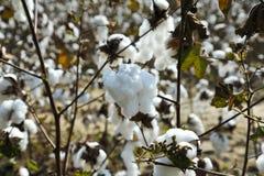 棉花的领域 免版税图库摄影
