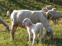 与绵羊的幼小羊羔照顾吃草在山 免版税库存图片