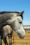 серая лошадь Стоковое Изображение RF