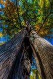 分裂树干与秋叶的柏树惊人的看法  免版税库存图片