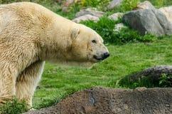 半北极熊的前面 免版税库存照片