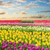 荷兰黄色郁金香领域在晴天 免版税图库摄影