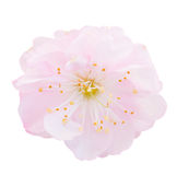开花的桃红色树花 免版税库存照片
