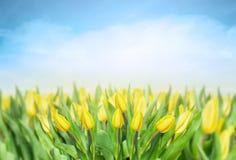 在天空,春天的黄色郁金香开花背景 图库摄影